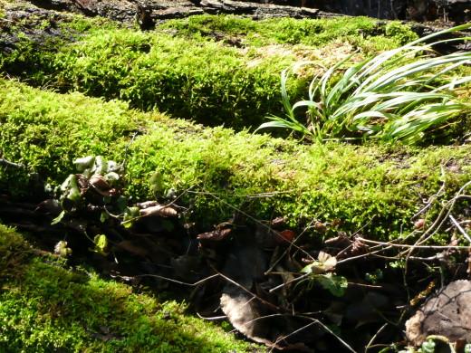 Grünes Moos im Winter