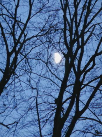 Halbmond zunehmend in einer Baumkrone