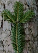 Zweig einer Weißtanne