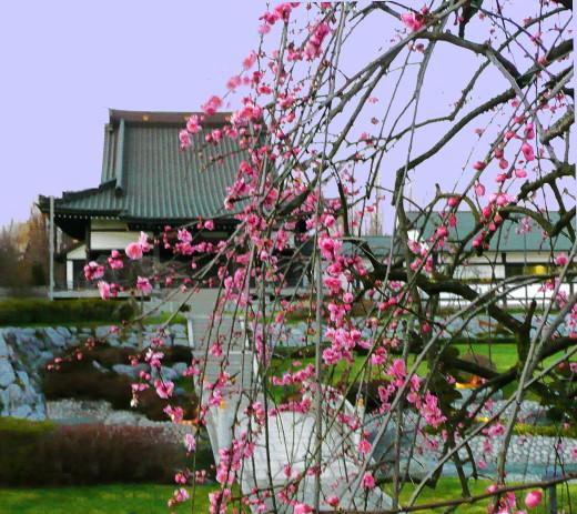 Kirschblüte im Amida-Garten im Februar