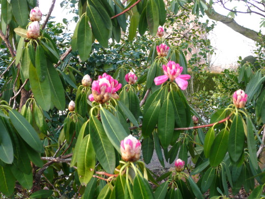 Rhododendron im Schnee