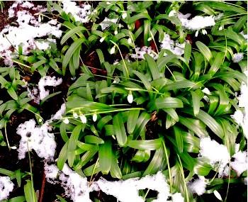 Schneeglöckchen im schmelzenden Schnee