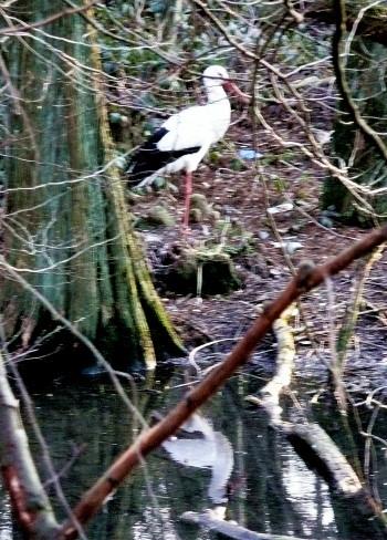 Storch mit Spiegelbild