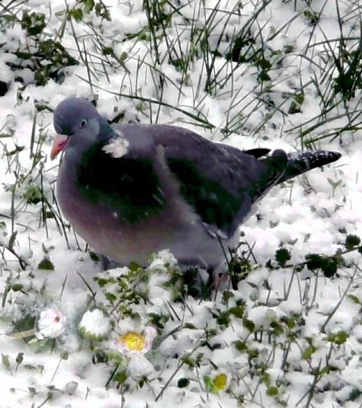 Wildtaube vor Gänseblümchen im Schnee!