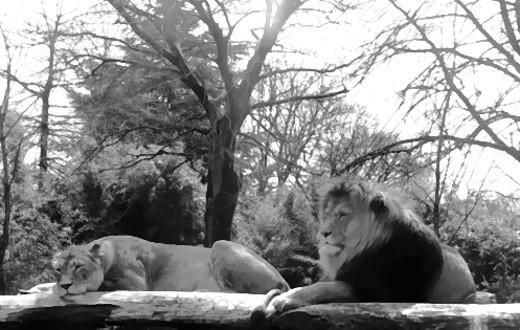 Zwei Löwen!