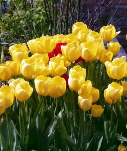 Gelbe Tulpen!