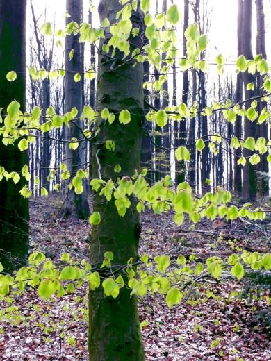 Manche Buchen haben unten am Stamm grüne Blätter, in der Krone jedoch keine!