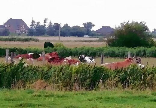 Kühe, auf der Weide ruhend mit der I-Ging Energie GEDEIHEN: Ich bringe dem Strom meines Lebens Frieden!