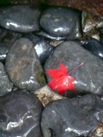 Rotes Ahornblatt auf schwarzen Steinen!