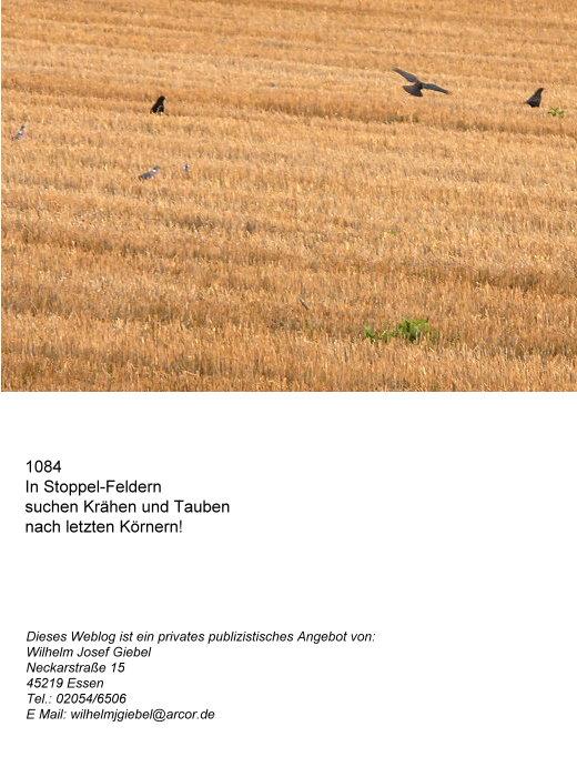 Stoppelfeld m. Krähen und Tauben!