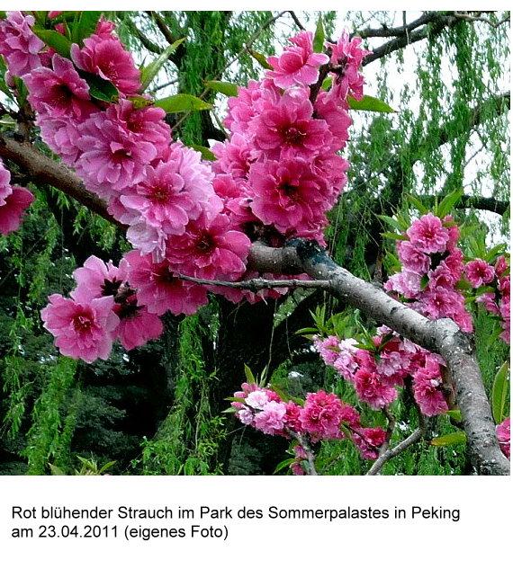 wutai-shan-rot-bluhender-strauch-im-sommerpalast-in-peking-am-2304-2011.jpg