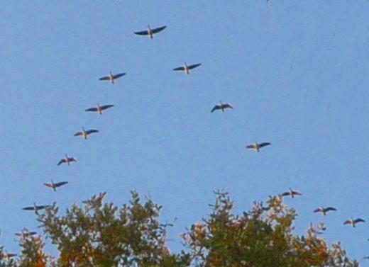 In Keilform fliegende Willgänse mit einem Hüter-Geist an der Spitze.