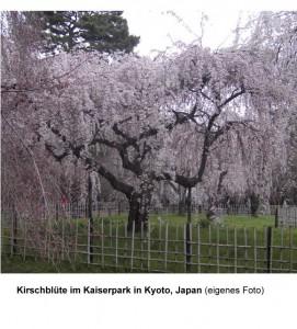 Herabk. Kirschblüte in Kyoto, Japan
