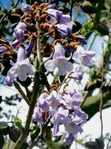 Glockenblumen  (eigenes Foto)
